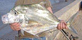 Central Region (Ghana) - African threadfish (Alectis alexandrina), from Cape Coast on the Peninsula Ashantiland.