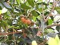 Agalia polystachya-3-kiliyur-yercaud-salem-India.JPG