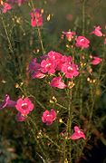 Agalinis fasciculata.jpg