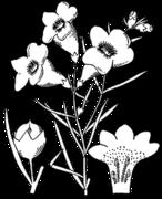 Agalinis purpurea drawing.png