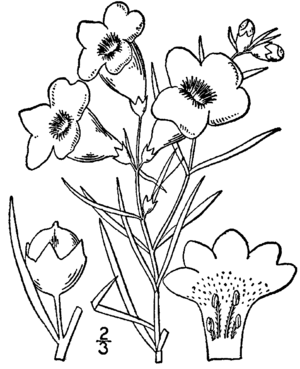 Agalinis purpurea - Botanical illustration of Agalinis purpurea (1913)