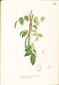 Aganope thyrsiflora Blanco1.161-original.png