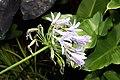 Agapanthus africanus 11zz.jpg