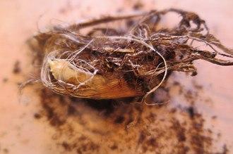 Amaryllidaceae - Rhizome of Agapanthus