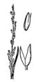 Agrostis blasdalei drawing.png