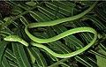 Ahaetulla prasina preocularis (KU 330037) green morph - ZooKeys-266-001-g073.jpg
