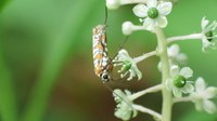 File:Ailanthus Webworm Moth (video).webm