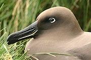 Albatros fuligineux.jpg