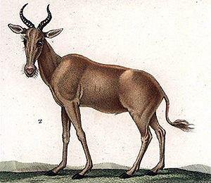 Bubal hartebeest - 1837 illustration