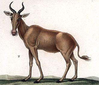 Bubal hartebeest - 1837 illustration