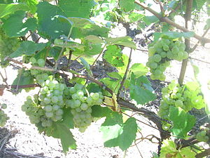 Azerbaijani wine - Plantings of Aligote are increasing in Azerbaijan.