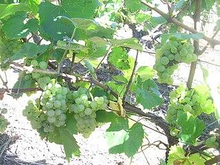Aligoté grape variety