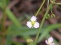 Alisma plantago-aquatica01.jpg