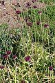 Allium atropurpureum Waldst. et Kit. (Amaryllidaceae)-1F.JPG