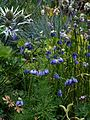 Allium blue Chinese sp - Flickr - peganum.jpg