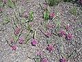 Allium oreophilum001.jpg