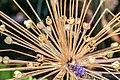 Allium schubertii in Jardin des 5 sens.jpg