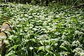 Allium ursinum kz09.jpg