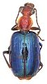 Allocota cyanipennis - ZooKeys-284-001-g003-16.jpeg