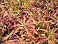 Aloe vanbalenii.JPG