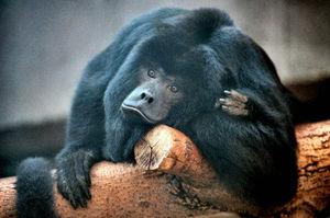 Folivore - A howler monkey