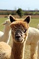 Alpaca in The Rodings, Essex, England 04.jpg
