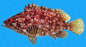 Alphestes immaculatus - Image: Alphestes immaculatus SI