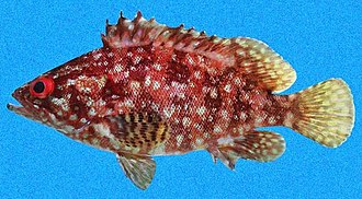 Grouper - Image: Alphestes immaculatus SI