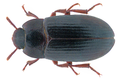 Alphitobius diaperinus (Panzer, 1797) (32514044020).png