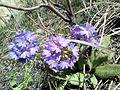 Alpine flower1.jpg