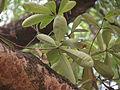 Alstonia scholaris - leaf 06.JPG