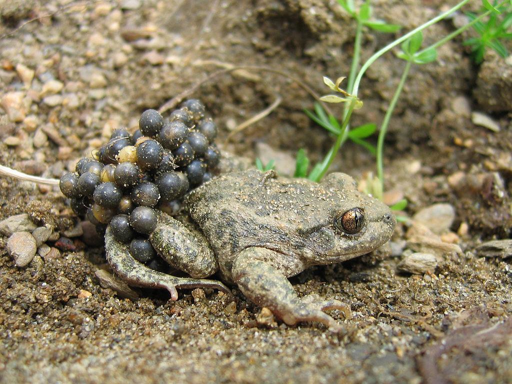 File:Alytes obstetricans almogavarii - male with eggs 2 ... Жаба Зеленая