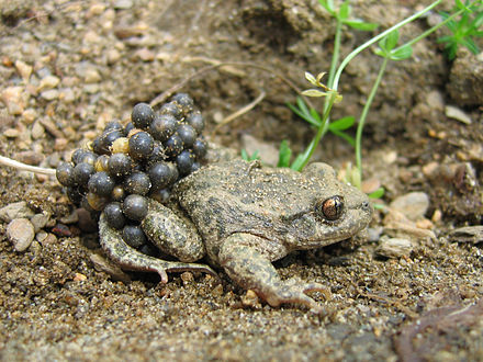 Male common midwife toad (Alytes obstetricans) carrying eggs Alytes obstetricans almogavarii - male with eggs 2.jpg