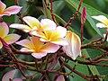Amancayo - Frangipán - Azuceno(Plumeria rubra fo. tricolor) - Flickr - Alejandro Bayer (2).jpg