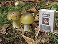 Amanita phalloides young.jpg