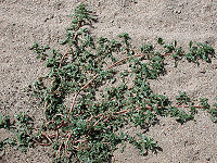 Amaranthus albus arizona