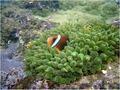 Amphiprion omanensis.TIF