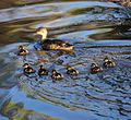 Anas gracilis and ducklings - Christopher Watson.jpg