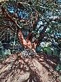 Ancient Yew Tree St Mary Magdalene Church Great Burstead.jpg