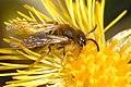 Andrena angustior 5.jpg
