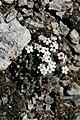 Androsace ovczinnikovii (Primulaceae) (33188082461).jpg
