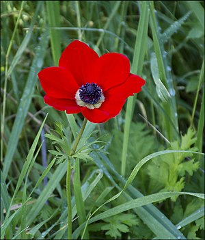 Anemone coronaria - Red Anemone coronaria in Israel, January 2016.