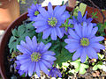 Anemone blanda 'bleue'.JPG