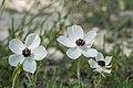 Anemone coronaria, Crete 01(js).jpg