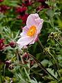 Anemone hybrida 'Ouverture'.JPG