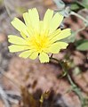 Anisocoma acaulis scale-bud flower close.jpg