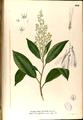 Anisoptera thurifera Blanco2.264-original.png