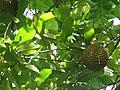 Annona purpurea - Toreta, monkey fruit.jpg