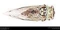 Annual cicada (Cicadidae, Neotibicen sp.) (27985857715).jpg