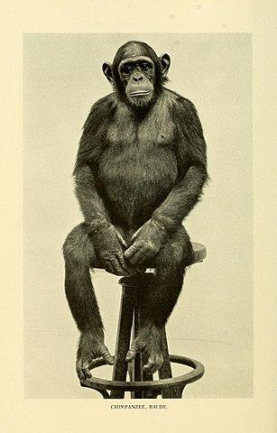 Baldy el chimpancé